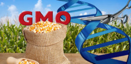 GMO Maize and Gene Editing x
