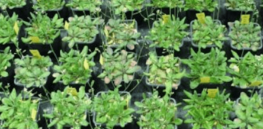 Identifying genetic basis for plant biodiversity could help boost crop yields