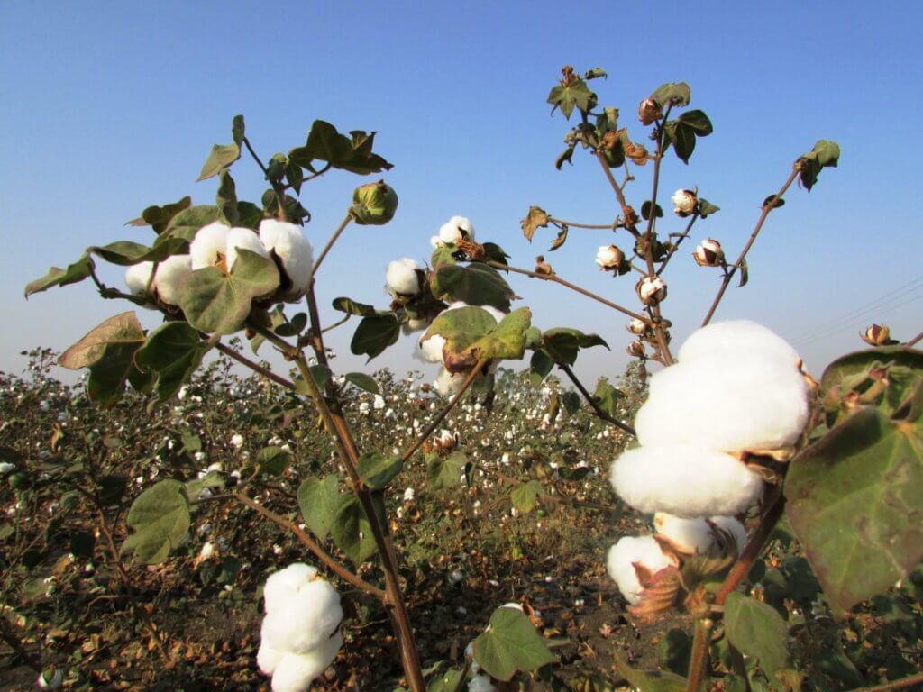 cotton crop cotton tree plant