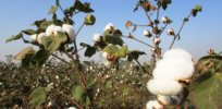 cotton crop cotton tree plant