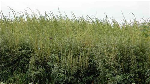 farmers chance use dicamba