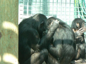 12-9-2018 04-Chimps-Grooming_Adjusted-536x402