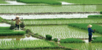 Rice plants engineered to take up more CO2 could boost crop yields as much as 27%