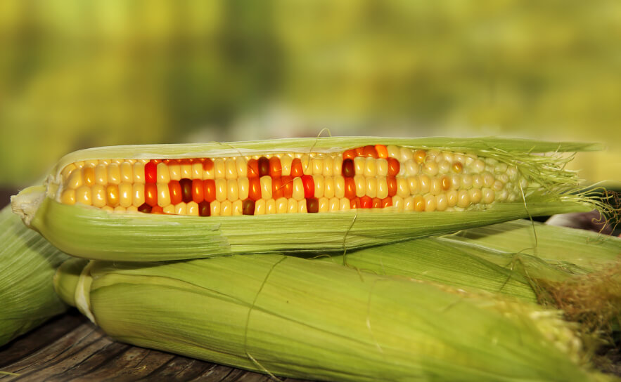 Video: What are GMO crops—and are they natural? Pioneering