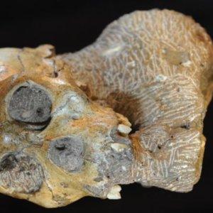 1-23-2019 australopithecus sediba skull exlarge