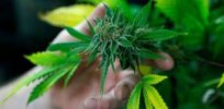 1-21-2019 t z lynxnpec k colorado marijuana