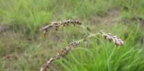 alloteropsis semialata flowers