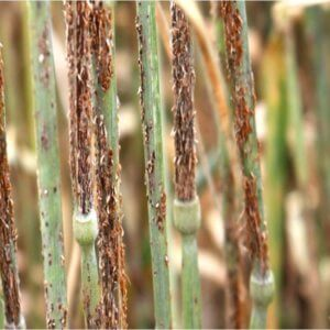 wheat rust disease