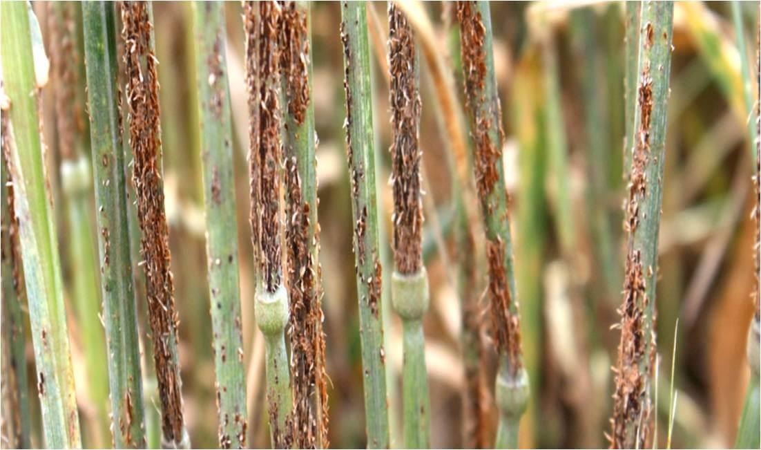 wheat rust disease