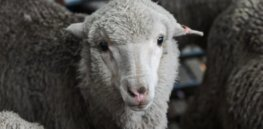 3-20-2019 agneau merinos sperme congele
