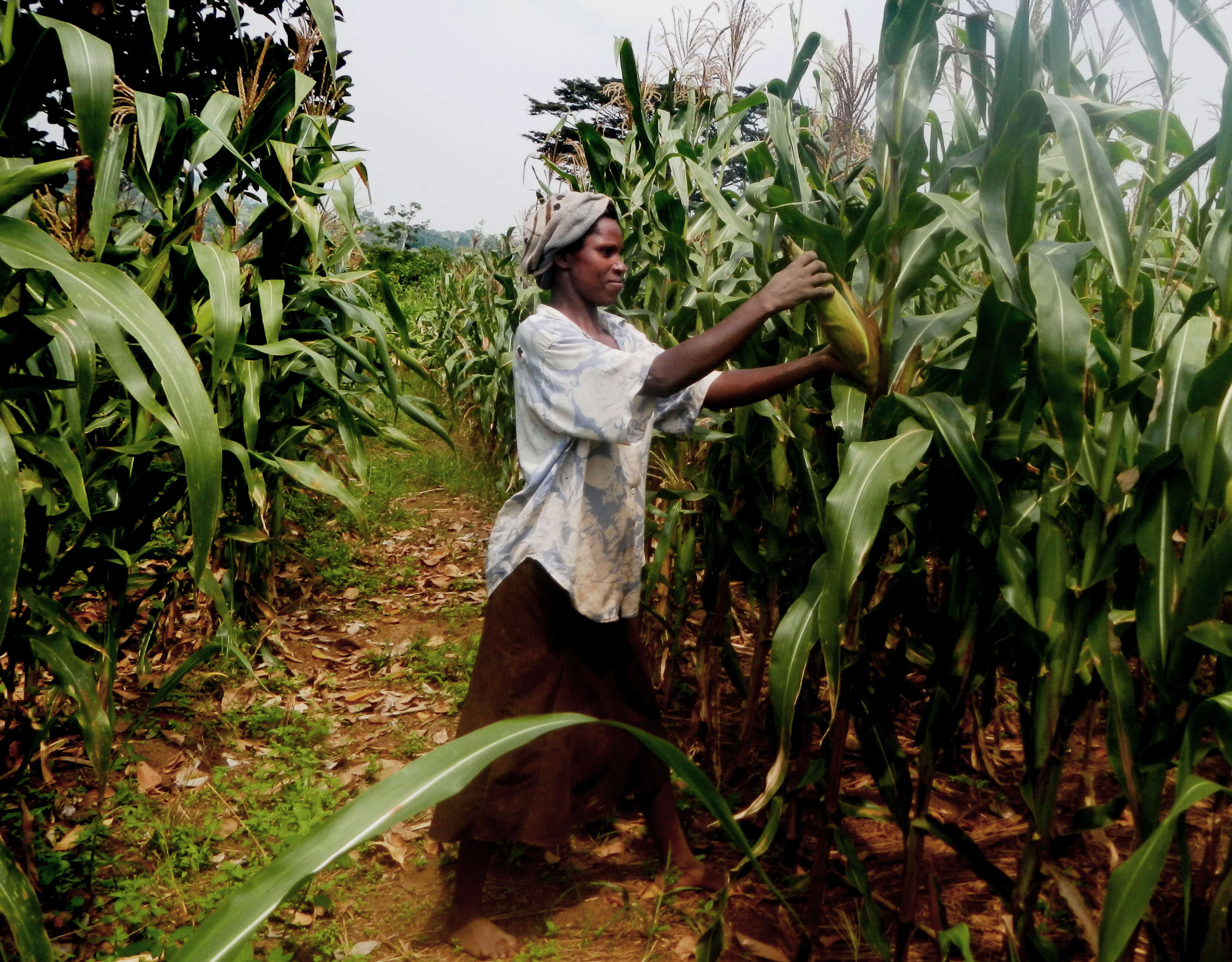 Viewpoint: Developing world farmers see GMO crop adoption as