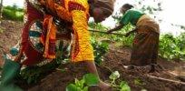 growing sweet potatoes in tanzania x