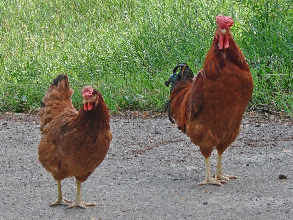 poltava chicken breed male and female