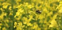 bee canola banner