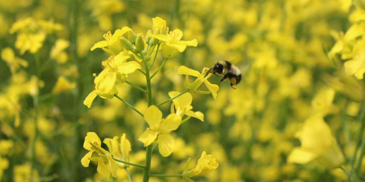 bee canola banner