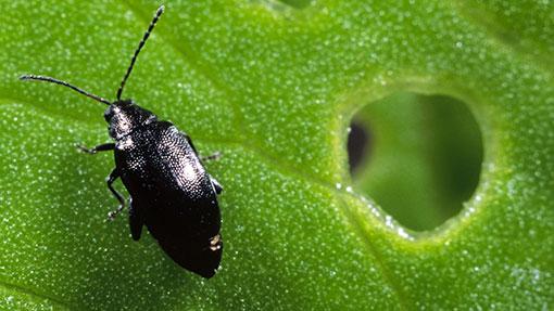 flea beetle rex