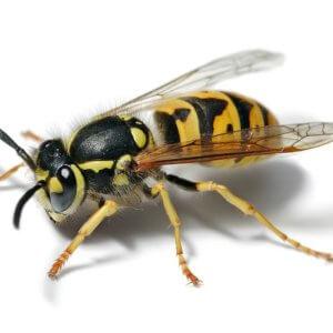 european wasp white bg