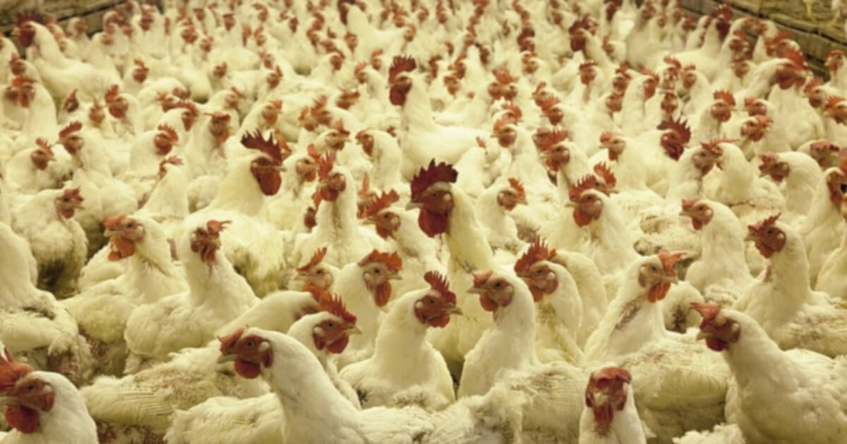 chicken poultry farm cafo x