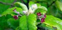 endemicssthelenaoliveflowers