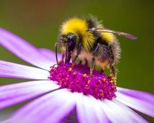 bumblee on purple flower