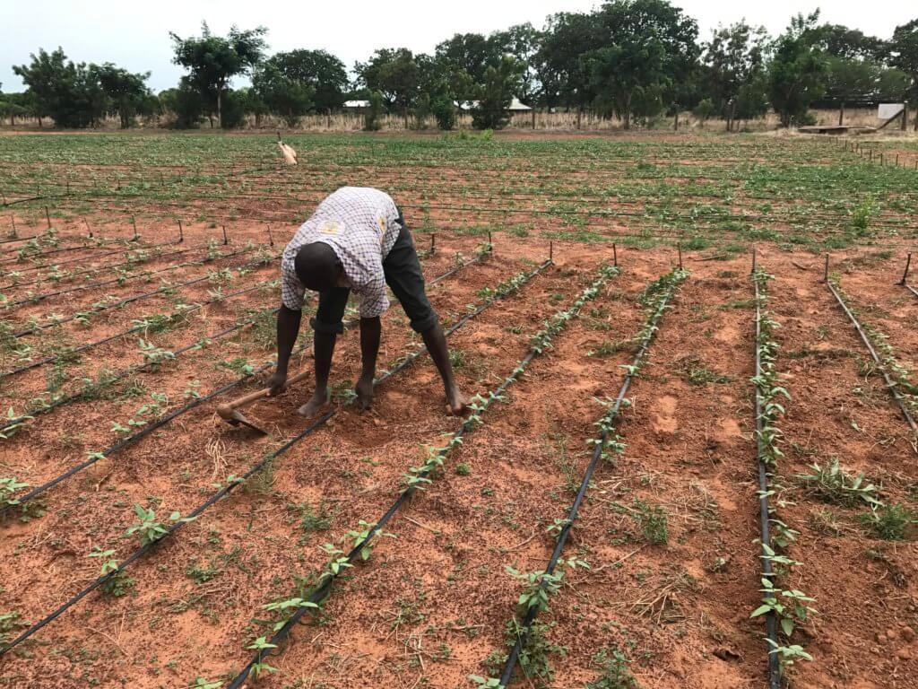 bt cowpea fields