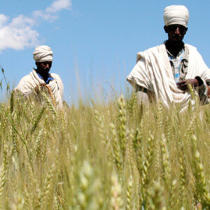 food africa wheat