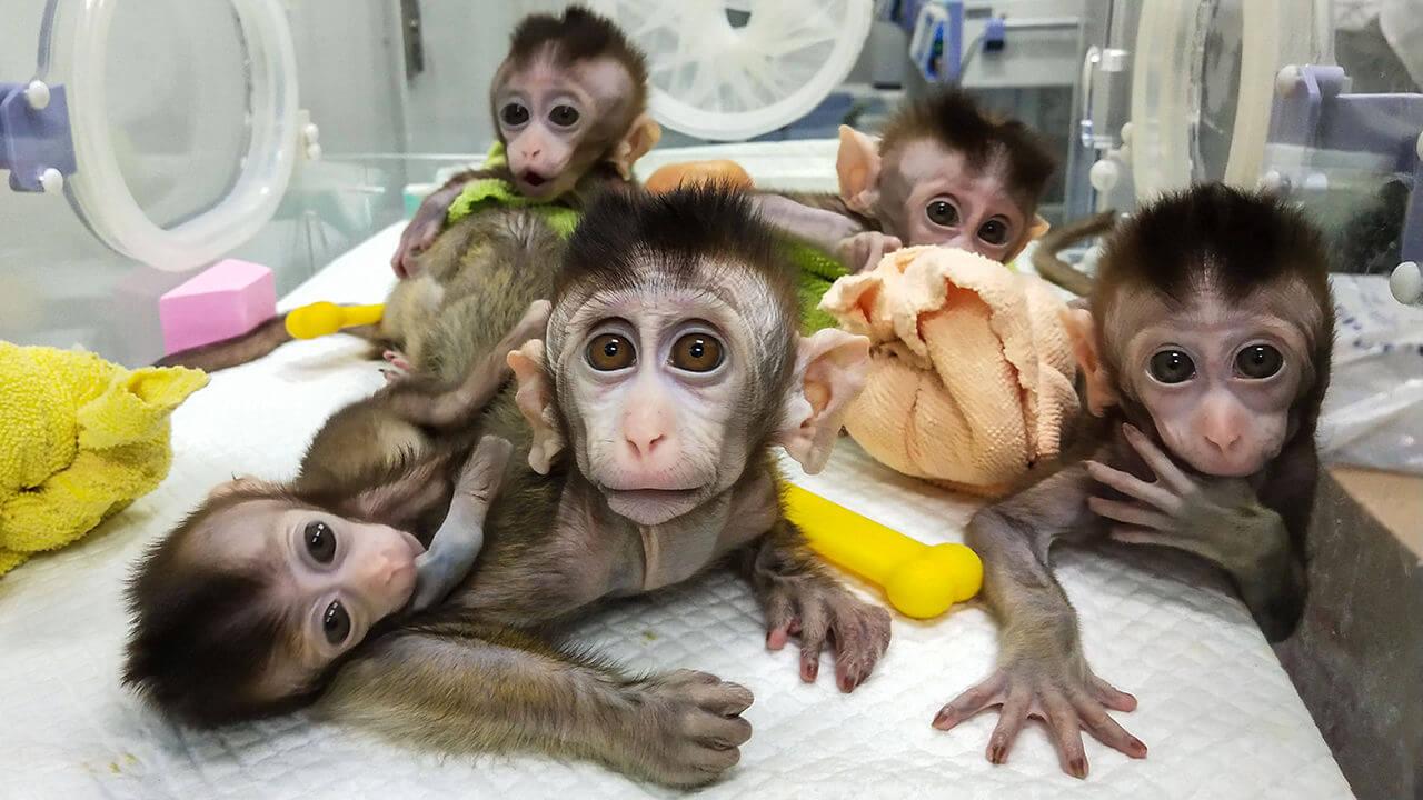 ma crispr animal monkeys x