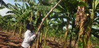 Plans to introduce GMO crops in disarray, legislators angry after Uganda's president rejects GMO cultivation law for second time
