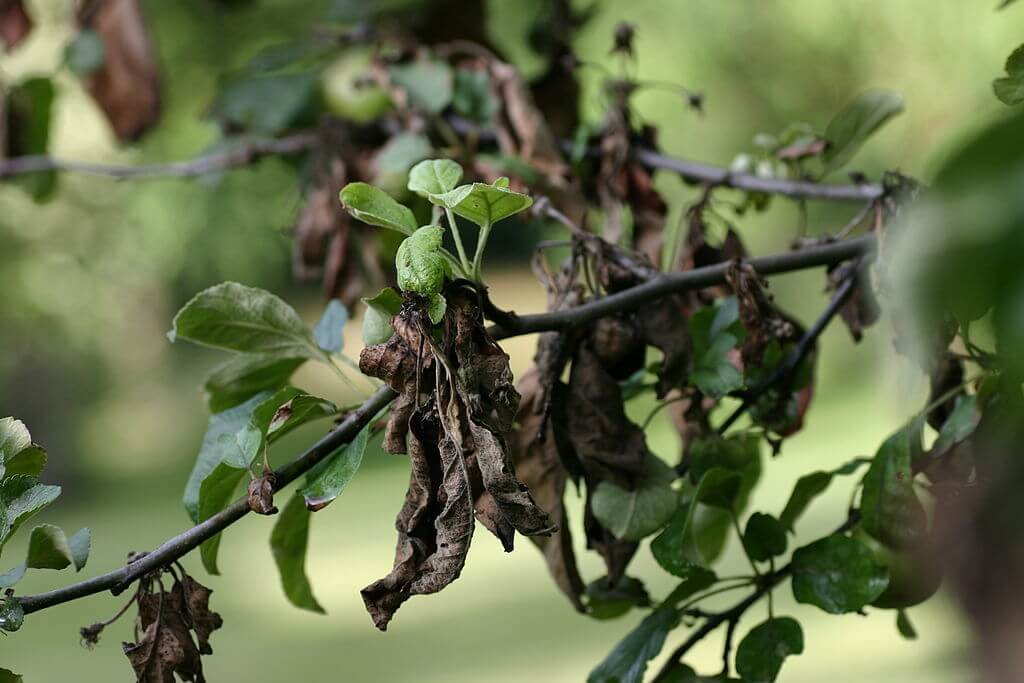 px apple tree with fire blight
