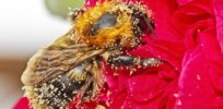 a bee covered in pollen x