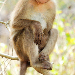 bonnet macaque macaca radiata photograph by shantanu kuveskar