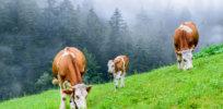 cows methane