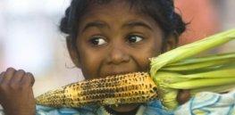 eating gmo corn on the cob x