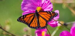 monarch butterfly x