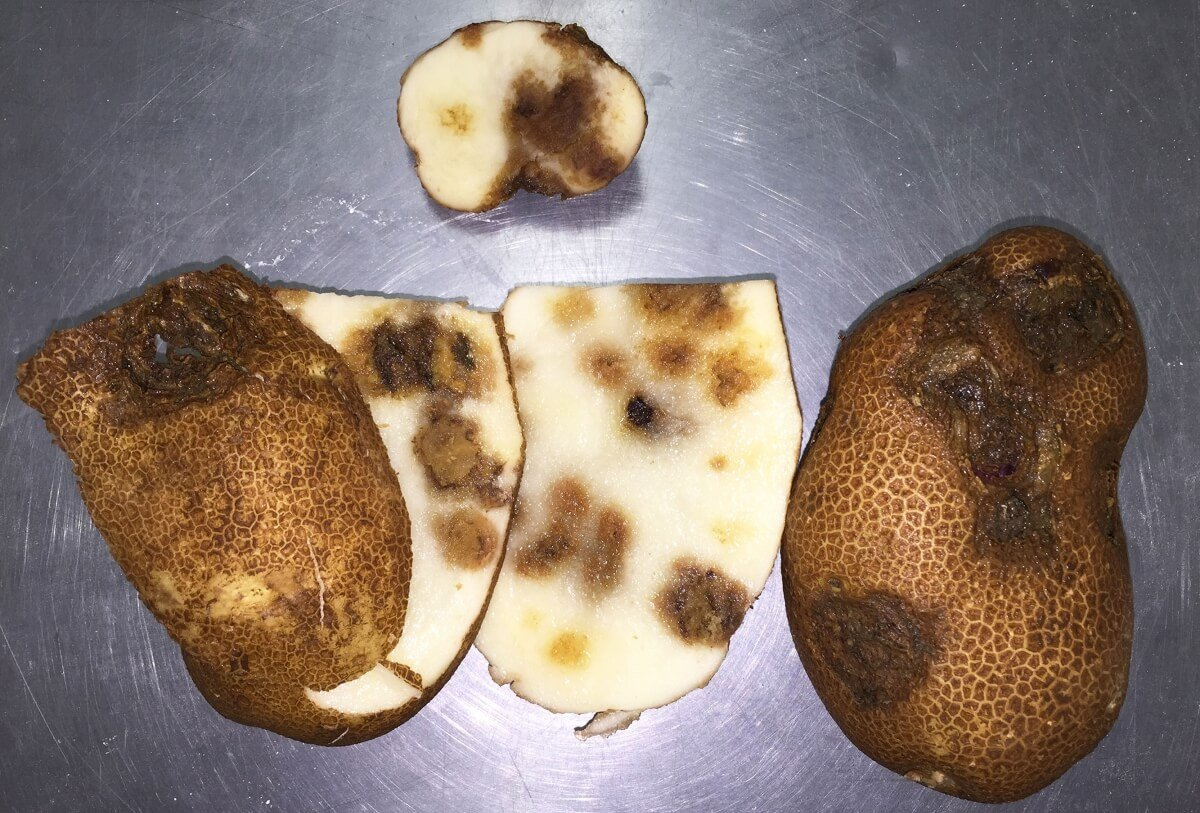 potato tubers affected by pvy