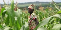 corn in kenya