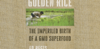 golden rice crop