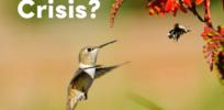 hummingbird bee crisis