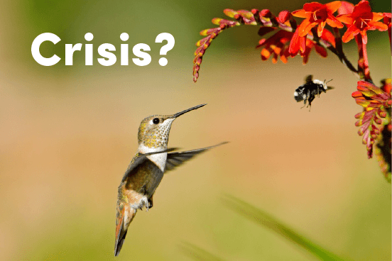 hummingbird bee crisis