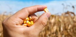 maize hand corn