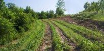 organic hillside sweet corn x