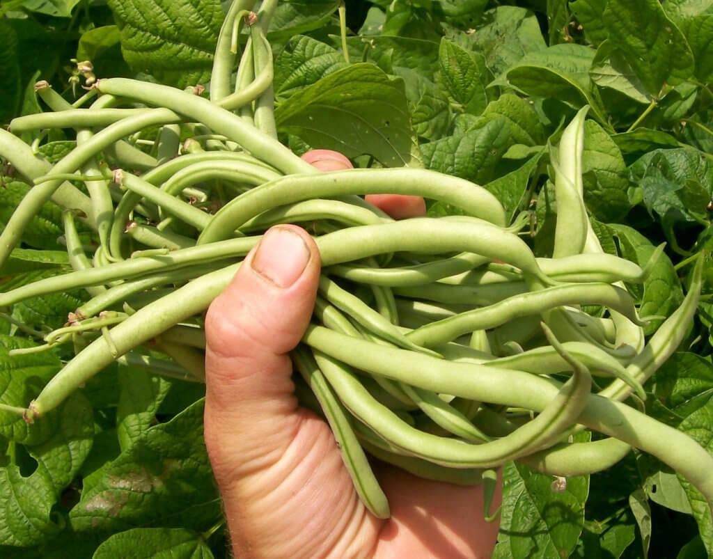 contender snap bush bean lrg