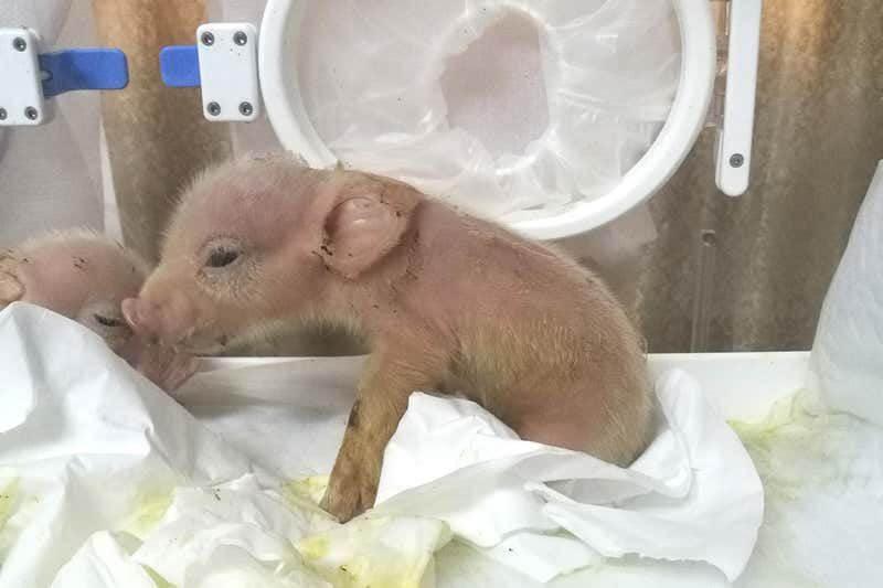 pig monkey chimera
