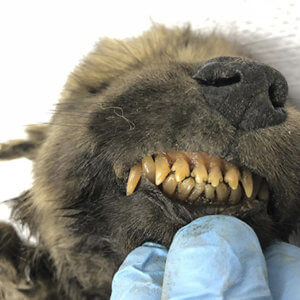 year old puppy permafrost could be oldest dog in the world dde a cc