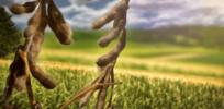 c b b ef b c ba d large x soybeans