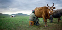 ca nid mongolia dairy online