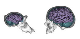 chimpanzee human brains