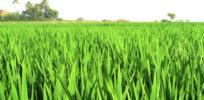 hybrid rice plants