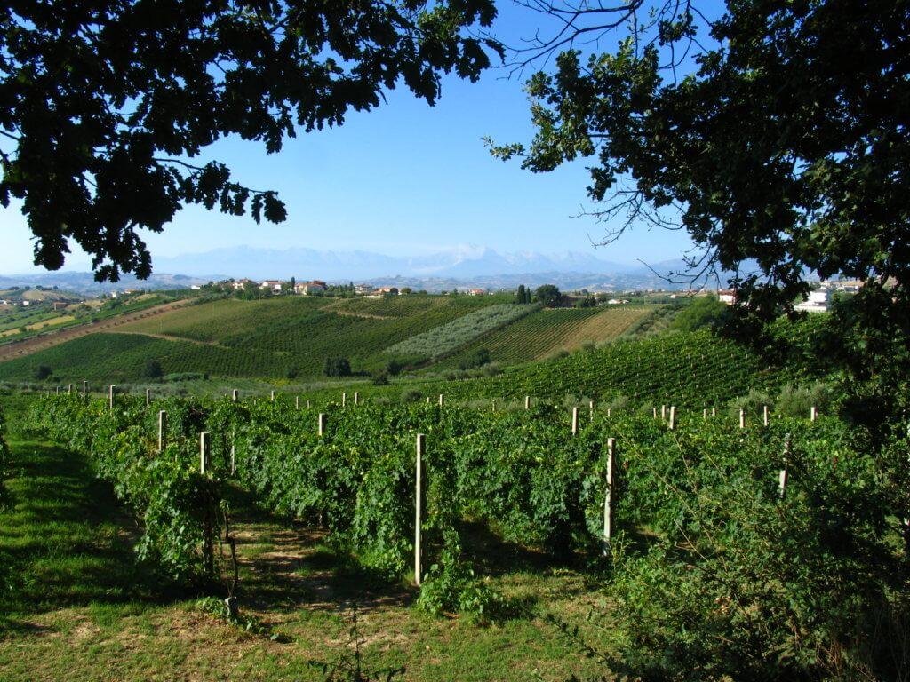 uva olivetrees oaks vineyards