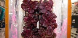 space station red romaine lettuce exlarge